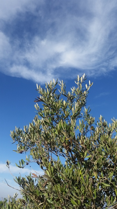 ToN - olive tree and clouds