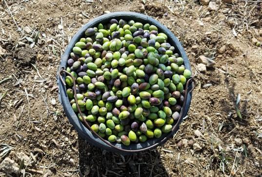 ToN - olives in basket